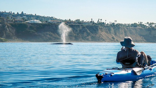 redondo beach kayaker sees whale
