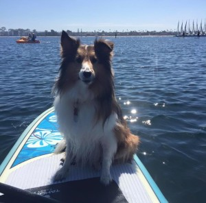 sheltie paddle boarding